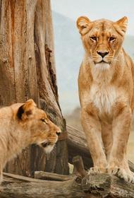 Две львицы «поиграли» с хозяином. В результате он умер