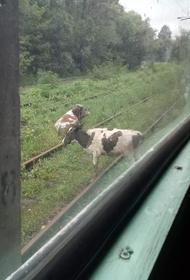 Движение трамвая в Хабаровске остановили отдыхающие на рельсах коровы