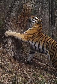 Под Хабаровском поселились уже семь тигров