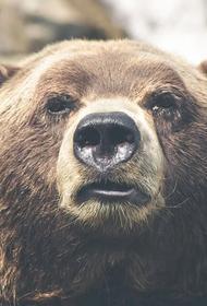 В Италии поймали особо опасного медведя