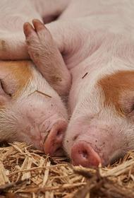 Китай запретил импорт свинины из ФРГ из-за африканской чумы