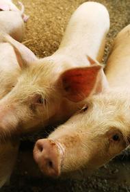 В Хабаровске снова вспыхнул очаг чумы свиней