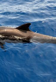 В Австралии началась масштабная операция по спасению дельфинов-гринд
