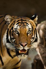 Краснокнижного амурского тигра Павлика убили в Приамурье