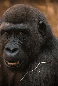 Работница испанского зоопарка подверглась нападению гориллы