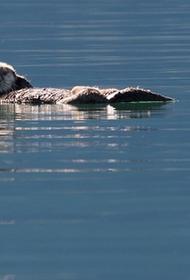 В Канаде детеныш морской выдры помогает людям справиться с депрессией на фоне COVID-19