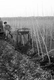 Почему в СССР повсеместно высаживали тополя