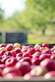 Белорусские фермеры похвалились хорошим урожаем яблок и картошки в этом году