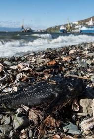 Новая версия экологической катастрофы на Камчатке - причиной гибели фауны могли стать токсичные водоросли