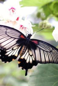 Редкий вид крупных бабочек обнаружили в Чернобыльском заповеднике
