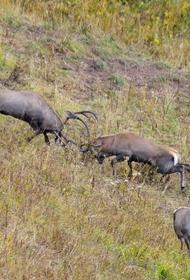 В Кавказском заповеднике прибавление благородных оленей