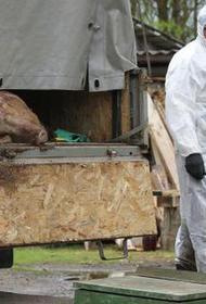 В Хабаровском крае выявлен новый очаг африканской чумы свиней
