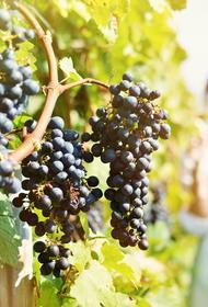 Географическое указание «Кубань» на винных этикетках гарантирует качество
