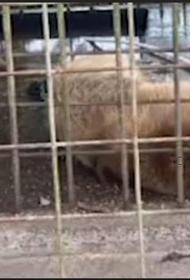 В Сочи осудят владельца медведей, растерзавших ребёнка