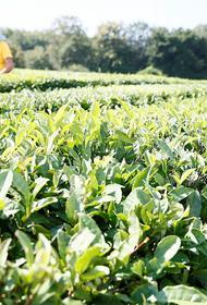 Урожай чая на Кубани вырос почти на 20%