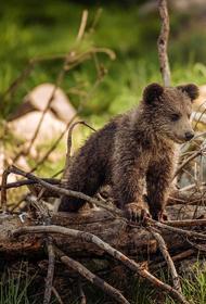 В селе Саранпауль молодой медведь при свете дня попытался вломиться в жилой дом