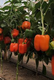 Братья-фермеры Тадевосян: овощевод — это агроном, почвовед и биолог в одном лице