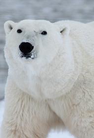 В Московском зоопарке умер один из двух белых медведей - медведица Мурма