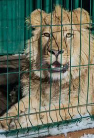 Челябинцы собирают подписи, чтобы наказать мучителей львенка Симбы