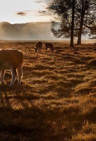 На Алтае эколога задержали по подозрению в охоте на баранов, занесенных в Красную книгу