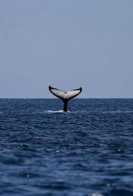 Ученые нашли исчезнувшего голубого кита