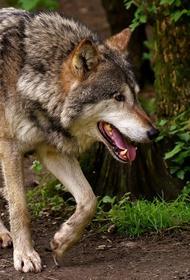 Пастух голыми руками убил волка, напавшего на овцу