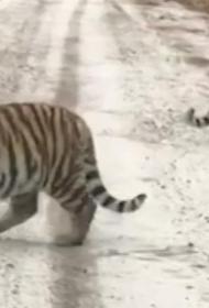 В Хабаровском крае амурские тигры убили лошадь и собаку