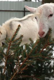 В Хабаровском крае новогодние елки после праздников отдадут в зоосад