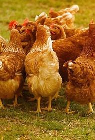 В Японии выявили два новых очага птичьего гриппа