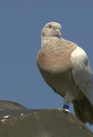 Австралийские власти хотят убить голубя, совершившего перелет из США