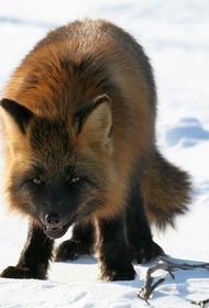 По улицам Петербурга бродят лисы, а в Ленинградской области - лоси