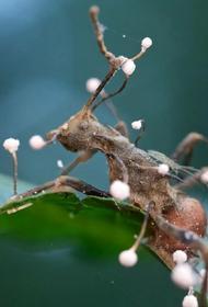 Зомби-гриб существует, но он заражает только насекомых