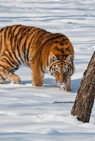 Штраф в 2 млн руб. грозит хабаровскому водителю, сбившему амурского тигра