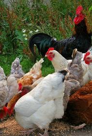 В Японии вспышка птичьего гриппа стала самой масштабной за всю историю страны