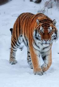 В Хабаровском крае спасают найденную истощенную тигрицу