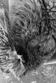 В Хабаровском крае умерла найденная истощенная тигрица