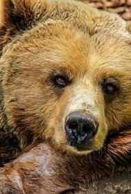Житель Приморья госпитализирован после нападения медведицы