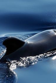 В Новой Зеландии черные дельфины выбросились на отмель, девять из них погибли