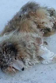 В Челябинской области полицейский спас умирающего на дороге пса