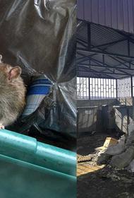Контейнерные площадки новых микрорайонов Иркутска оккупировали крысы