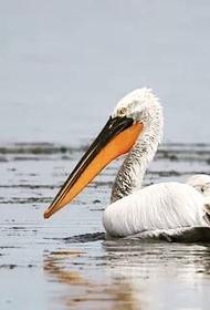 Береговой патруль на Каспии обнаружил больше 40 мертвых пеликанов. В Дагестане умирают краснокнижные птицы и редкие животные