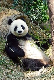 Большая панда напала на сотрудника зоопарка в Бельгии