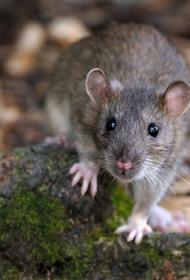 «Остров крыс» восстанавливается?