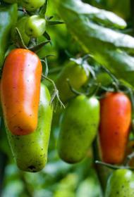 Челябинцы скупают рассаду клубники и томатов