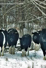 Загадки реинтеграции крупного рогатого скота в дикую природу