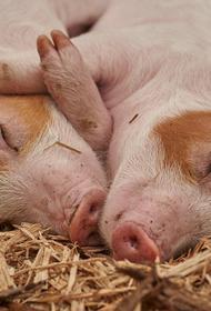 В Республике Коми выявили очаг заражения африканской чумой свиней