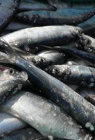 Берега Сахалина усыпало тихоокеанской сельдью