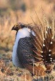 Шалфейный тетерев - птица-индикатор здоровья экосистемы