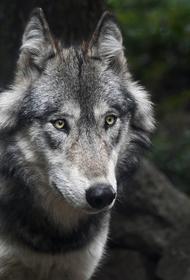 По улицам Хельсинки бродит волк