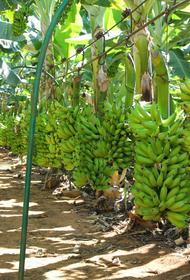 На фоне пандемии коронавируса банановые плантации гибнут от почвенного грибка
